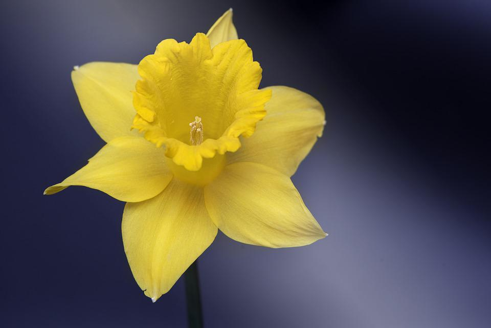 kostenloses foto narzisse blume gelb kostenloses bild auf pixabay 1275585. Black Bedroom Furniture Sets. Home Design Ideas