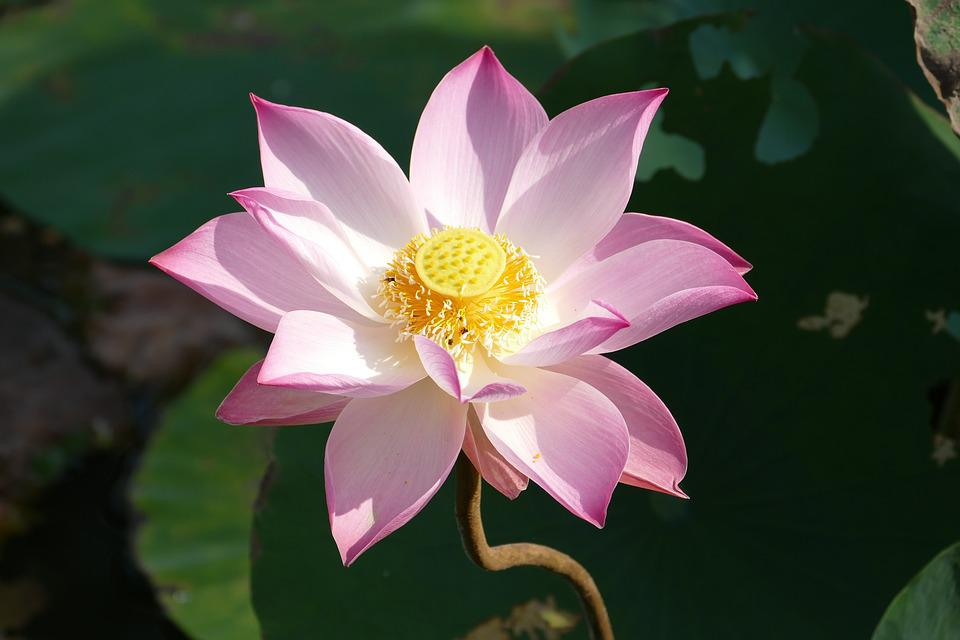 Lotus Vietnam Asia Water 183 Free Photo On Pixabay