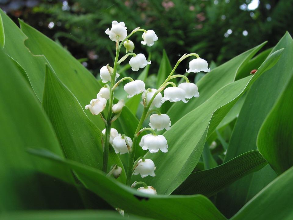 すずらんの育て方・管理方法・花が咲かない原因と対策