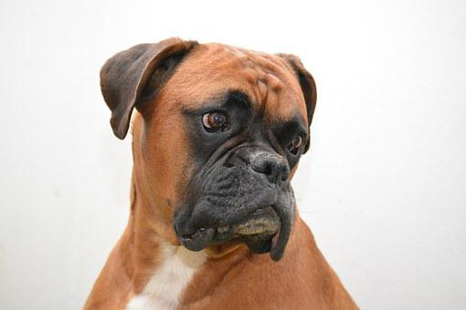 Boxer Dog Images Pixabay Download Free Pictures