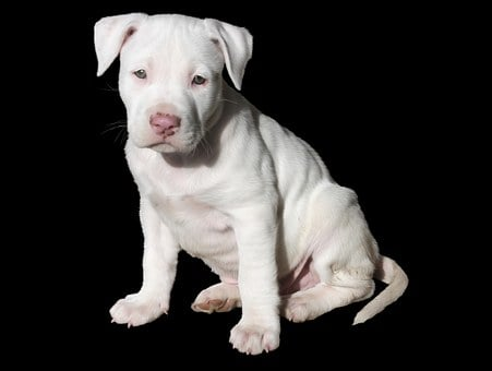 Staffordshire Bull Terrier Puppies For Sale in Wisconsin