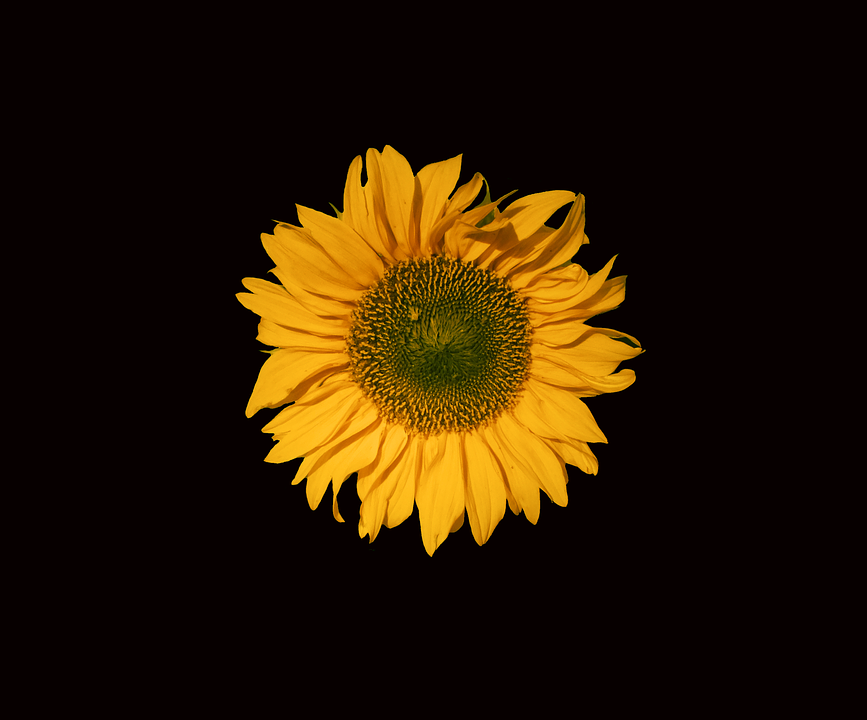 Sunflower sun flower free photo on pixabay sunflower sun flower flower yellow black background mightylinksfo