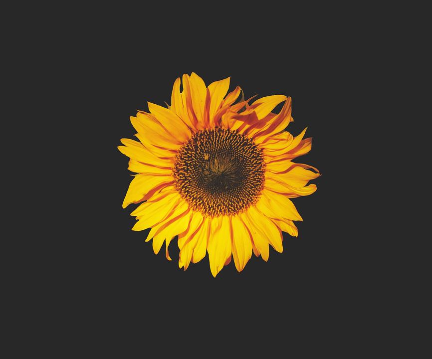 Girasole Fiore Del Sole Foto Gratis Su Pixabay