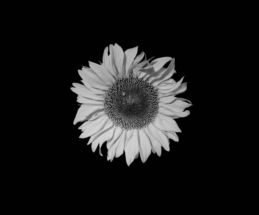 Sunflower Sun Flower Grey