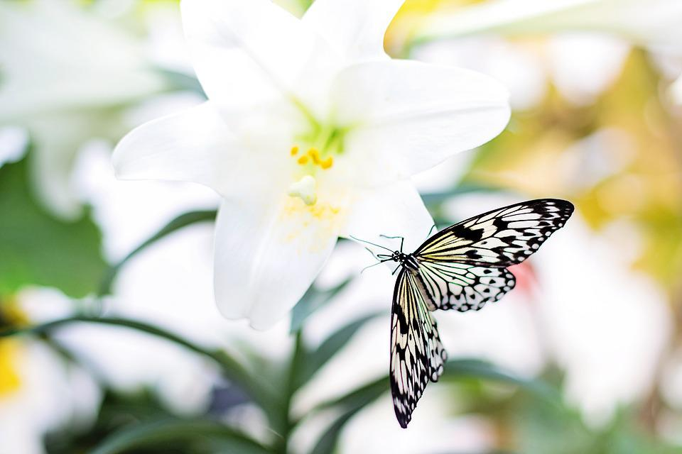 816f88ba4 Butterfly Easter Lily Nature - Free photo on Pixabay