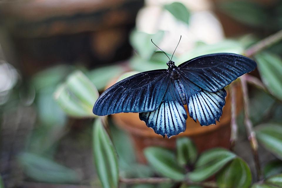 Farfalla, Blu, Black, Insetto, Grande, Primavera