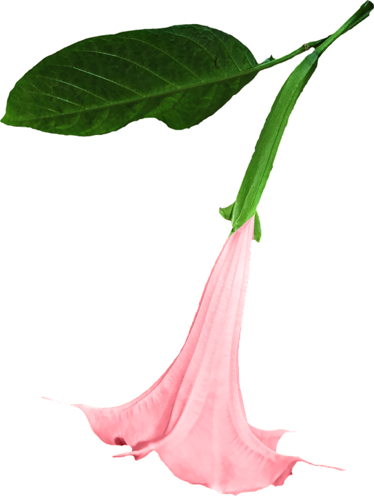 Free photo: Datura, Png, Flower, Clipping - Free Image on Pixabay ...