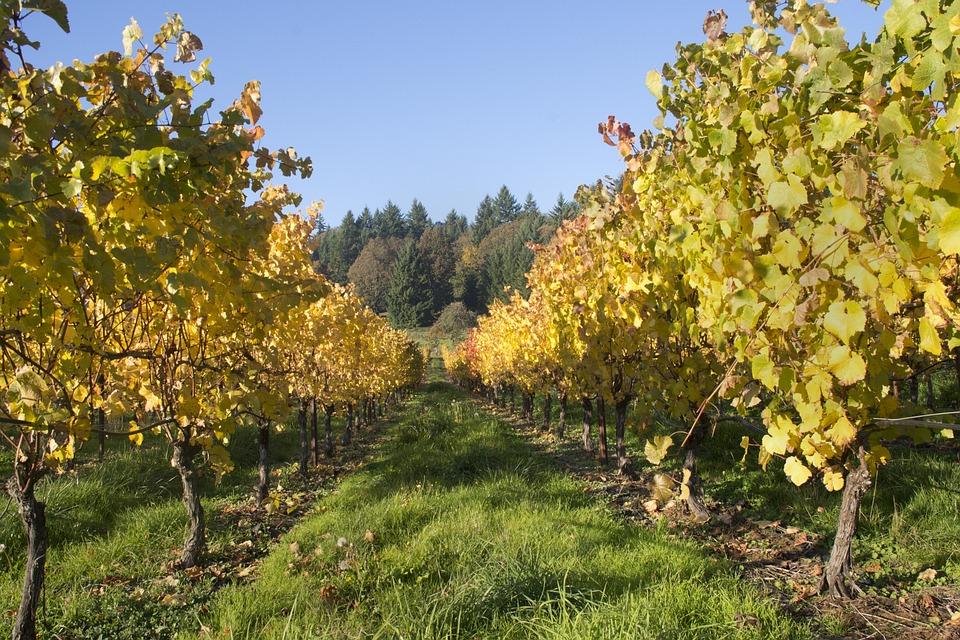 Vineyard, Wine, Oregon, Vine, Harvest, Grapes