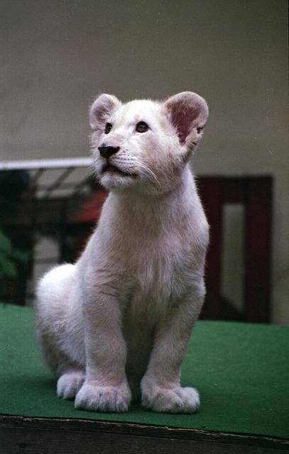 Lion blanc cub photo gratuite sur pixabay - Photos de lions gratuites ...