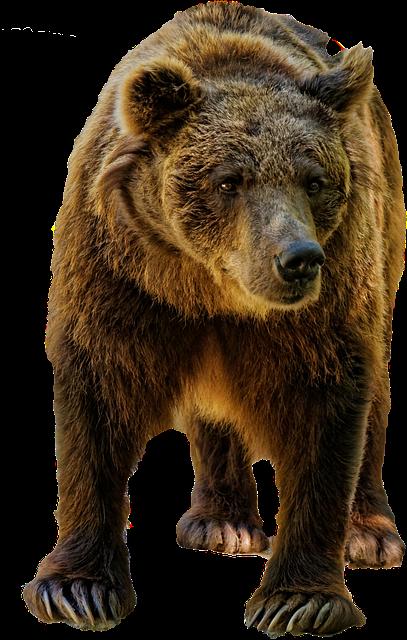 Free Photo Bear Brown Wild Wildlife Animal Free