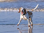 animal, beach, beagle
