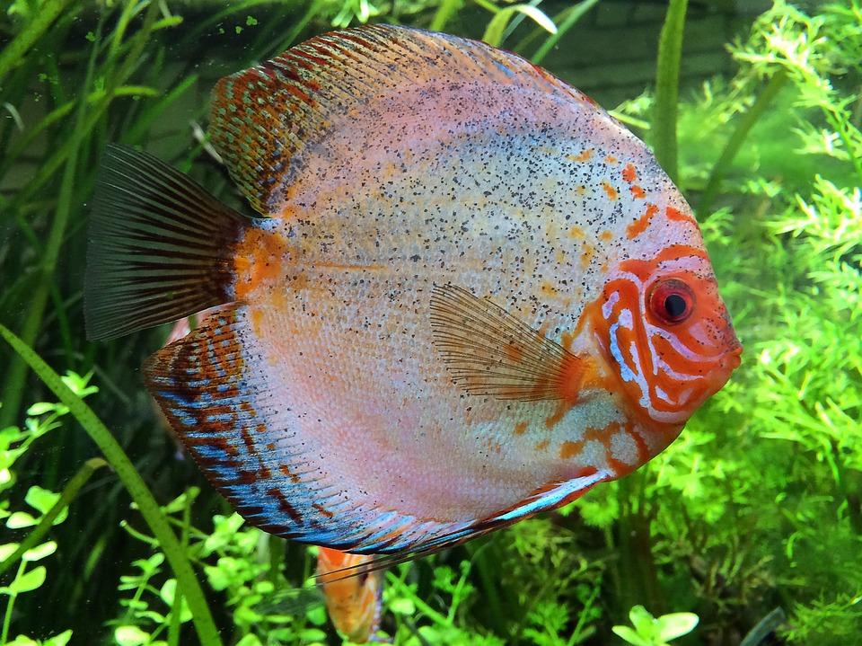 Discus Fish Cichlid Aquarium Free Photo On Pixabay