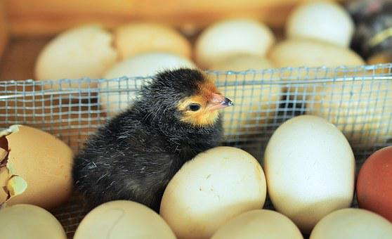 Chicks, Egg, Hatched, Eggshell, Chicken