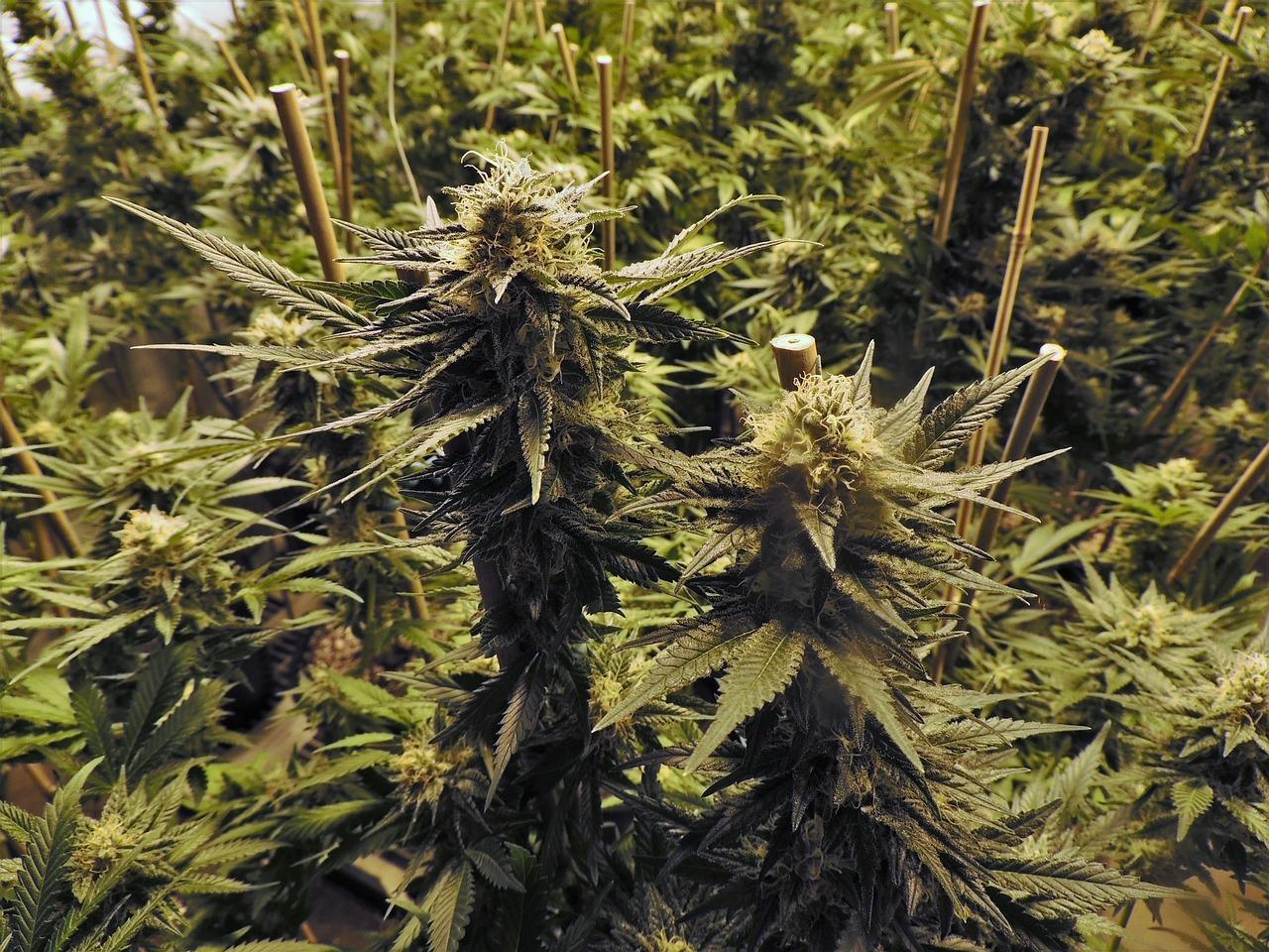 Фото красивых кустов конопли можно ли принимать антибиотики с марихуаной
