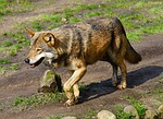 wolf, predator, wild animal