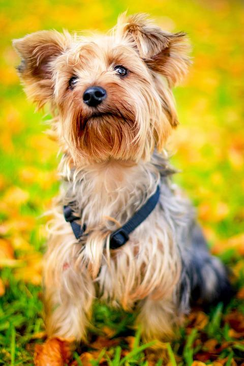 Animal, Dog, Pet, Cute, Autumn, Puppy, Yorkie, yorkshire terrier, top 10 dog breeds