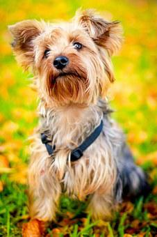 Animal Dog Pet Cute Autumn Puppy Yorkie Yo