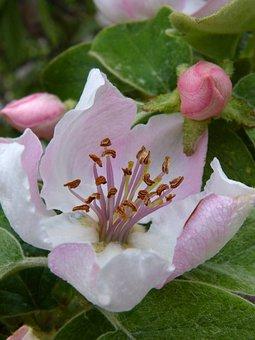 quince flower quince flower cocoon - Quince Flower
