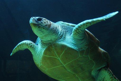 Underwater, Turtle, Sea Turtle, Sea Life