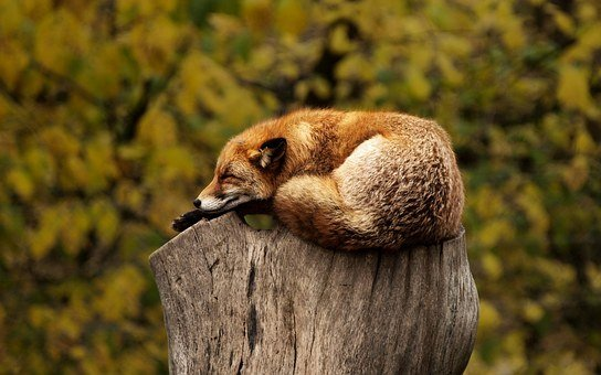 Fox, Tree, Stump, Sleeping, Resting