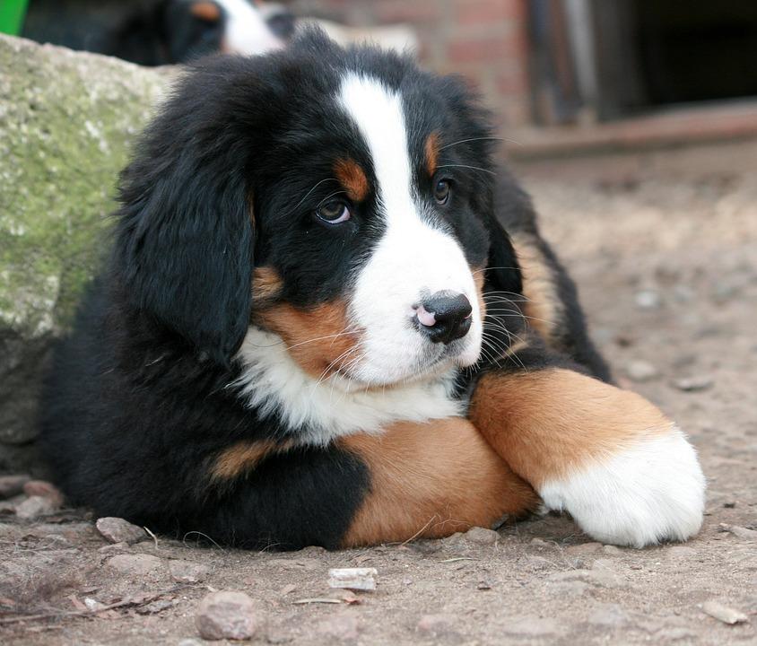Tidssvarende Hvalp Berner Hund Sennen - Gratis foto på Pixabay SC-93