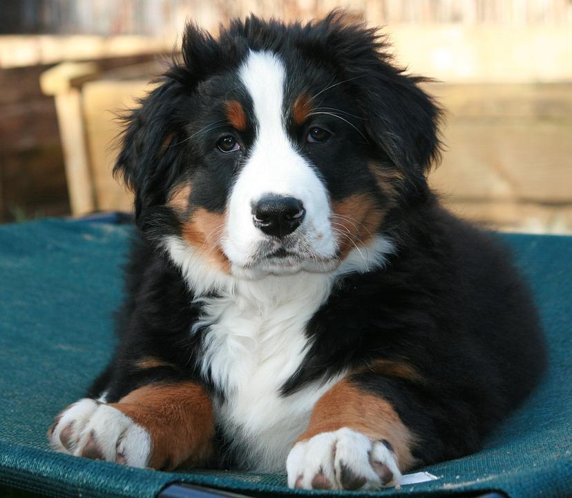 Lækker Berner Hund Sennen Hvalp - Gratis foto på Pixabay TF-99