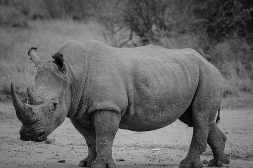 Rhinocéros, Safari, Rhino, Mammifères