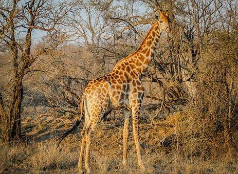 Girafe, Afrique, Des Animaux, Sauvage