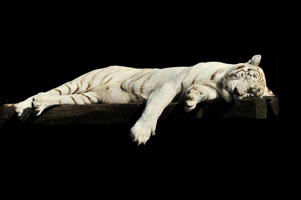 Tiger, Lazy, Sleeping, White, Animal, Zoo, Cat