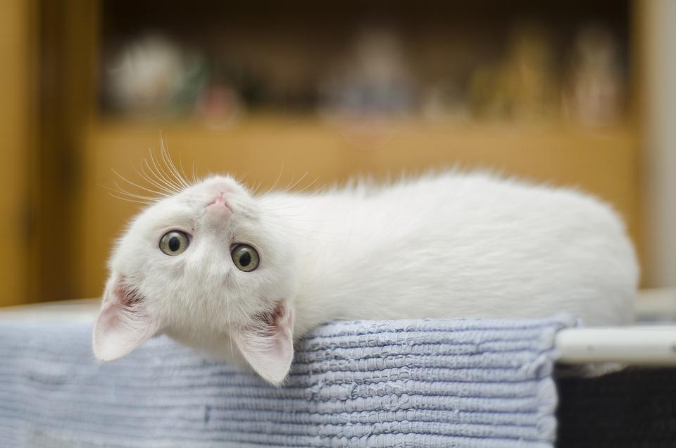 子猫, かわいい, 猫, ホワイト, 家畜化された, かわいい猫, ネコ, ひげ, 甘い, 茶色の猫