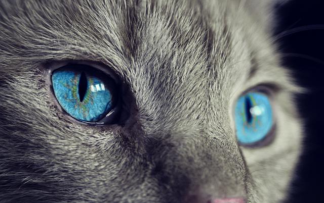 猫, 動物, 猫の目, 目, ペット, ビュー, 青い目, 国内の猫, 頭, 毛皮, ヘッドの描画, 猫の顔