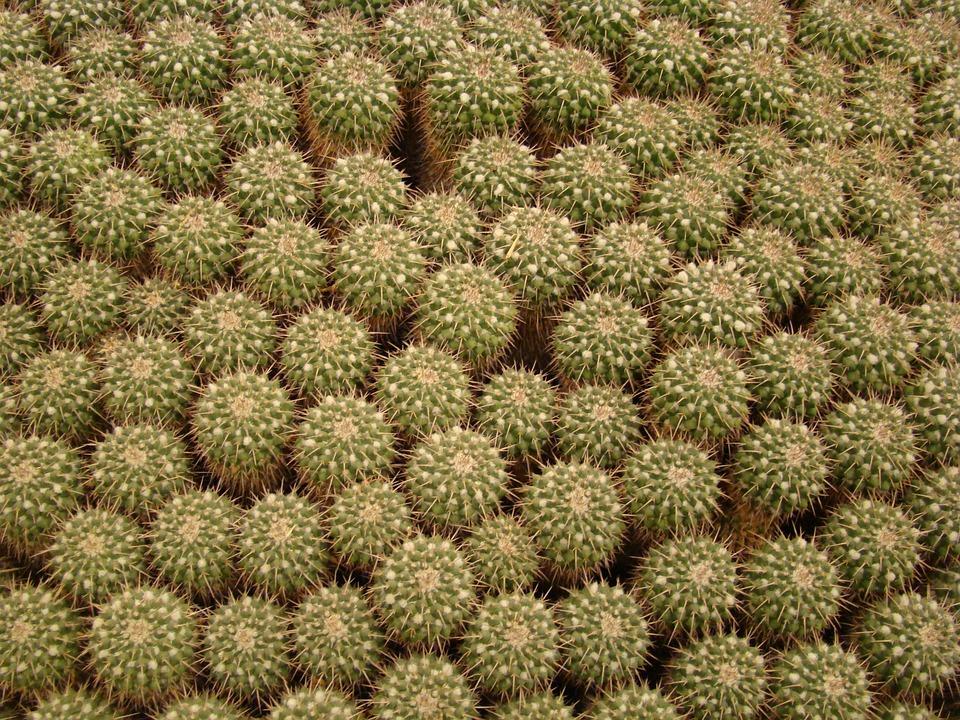 800+ Gambar Flora Kaktus HD Paling Baru
