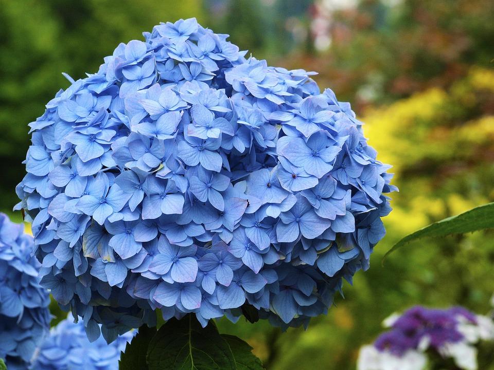 Blue Blossom Flower Plant 63