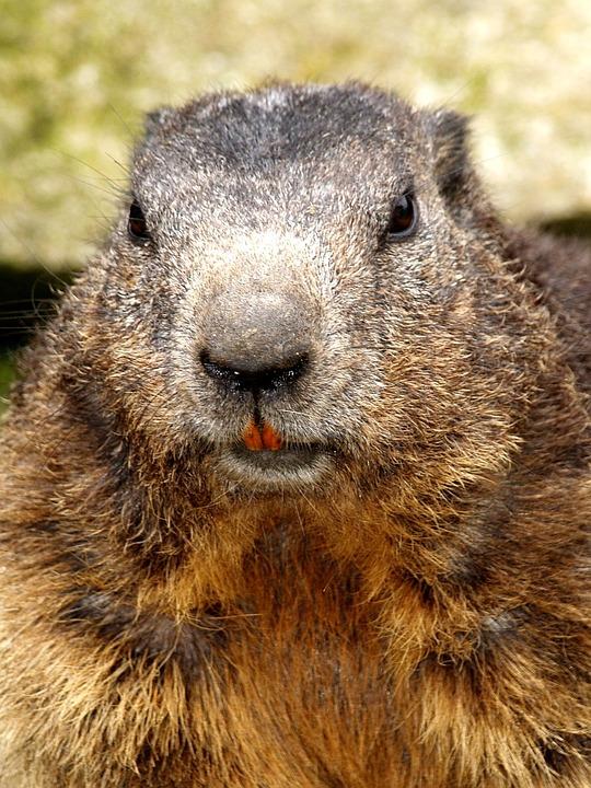 Beaver, Rodent, Close Up