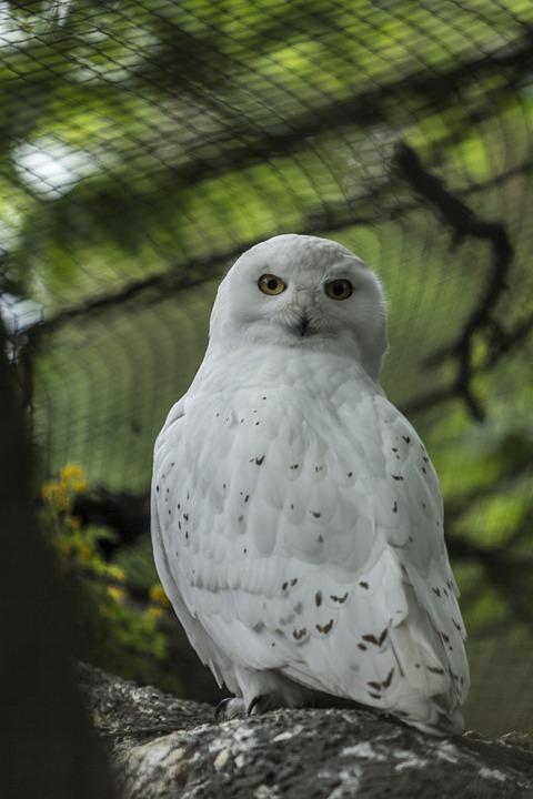 Snowy Owl Burung Hantu Putih Foto Gratis Di Pixabay