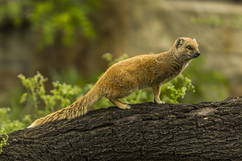 Yellow Mongoose Red Meerkat Cute 183 Free Photo On Pixabay