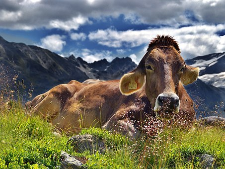 Cow, Alps, Cattle, Mountains, Rest