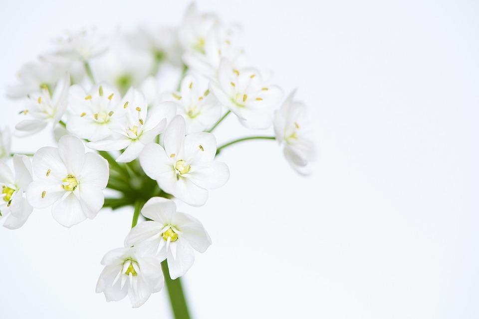 Unduh 99+ Gambar Bunga Putih Terbaru Gratis