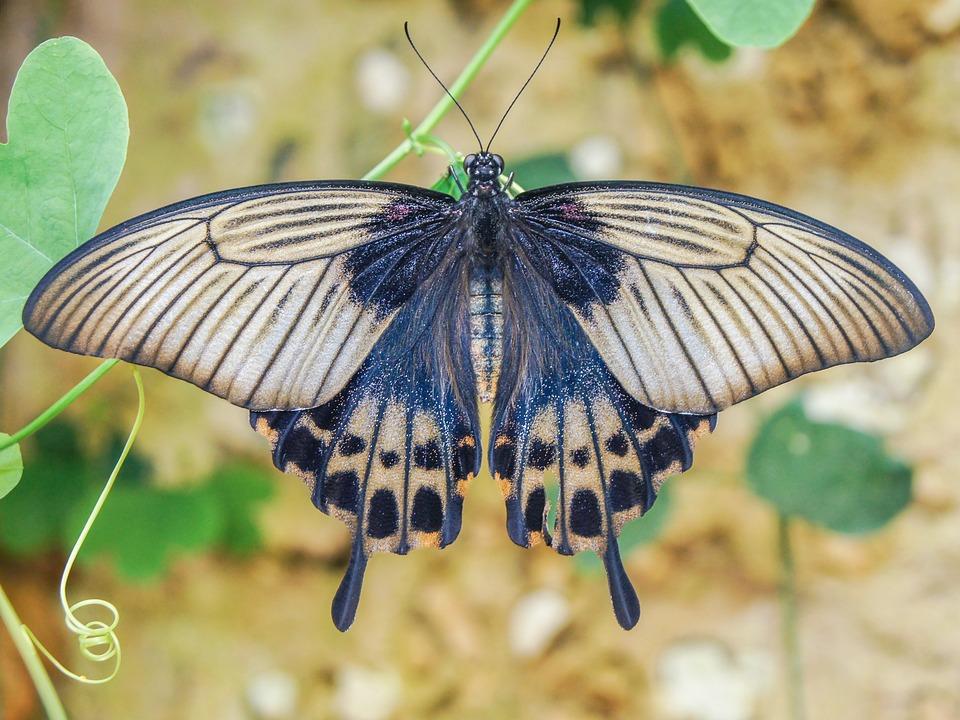 Opciones binarias de mariposa de hierro