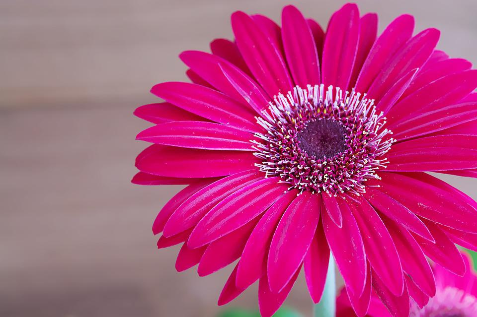 Free photo: Gerbera, Flower, Blossom, Bloom - Free Image on ...