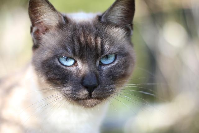 Kostenloses Foto: Siamese, Katze, Katzenkopf - Kostenloses