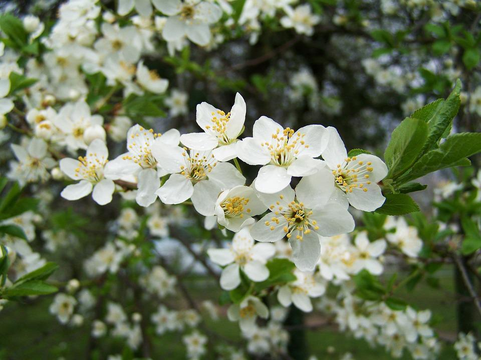 Fruit Trees In Bloom White Flower Free Photo On Pixabay