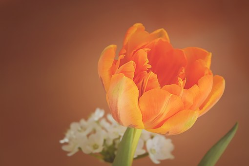 Tulip Flower Blossom Bloom Orange Petals O