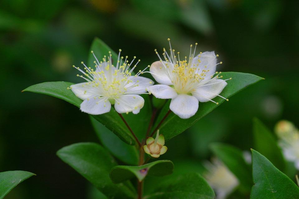Fiore, Mirto, Natura