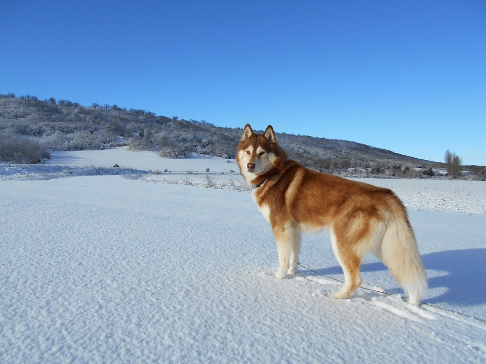 Siberian Husky, Dog, Pet, dogs breeds that start with s