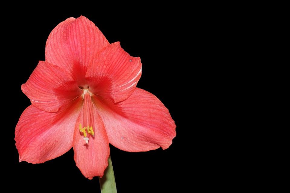 Amaryllis Fleur Rouge Photo Gratuite Sur Pixabay