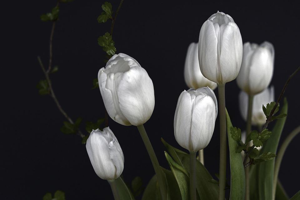 free photo tulips tulip flower flowers free image on
