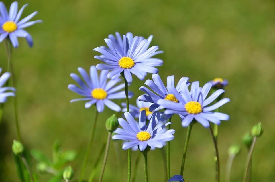 Fiori Tipo Margherite.Blu Felicia Margherita Fiore Foto Gratis Su Pixabay