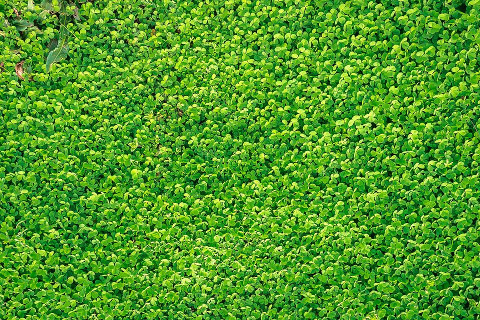 free four leaf clover wallpaper
