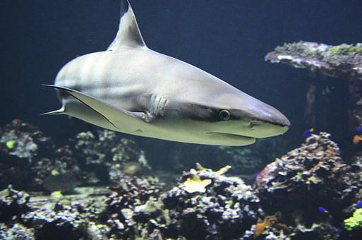 Blacktip, Hai, Dangerous, Predatory Fish